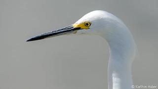 Snowy Egret Portrait - 1093 [Explore - July 13, 2015]