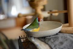 DSC_7910 (Jenny Yang) Tags: pet bird lady finch gouldian