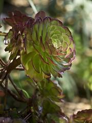 San Diego Botanic Garden 09 (stecki3d) Tags: california flower macro garden caitlin jack san diego botanic encinitas aeonium