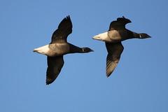 Brent Geese (stephen.reynolds) Tags: bird winter rsbp frampton blue sky brent geese