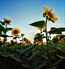 Summer (Katarina 2353) Tags: sunflower katarina2353 katarinastefanovic