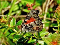 Brazilian Lady (d_taron) Tags: ecuador imbabura butterflies nymphalidae nymphalinae vanessa vanessabraziliensis