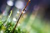DSC_9502 (xav_roberts) Tags: macro closeup dew nikonv1 nikonft1 nikon sigma105mmf28mm water droplets morningdew rain raindrops
