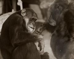 bevormundung (elmar theurer) Tags: bevormundung paternalism human menschlich affen charakter symbol monkey