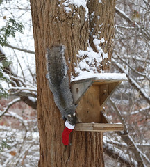 Squirrel opening his Christmas stocking. (Gillian Floyd Photography) Tags: squirrel christmas stocking snow winter tree feeder