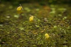 Heute war Badetag in einer Pfütze :-) Drei Sminthurinus aureus (Kugelspringer) Collembola auf dem Wasser (AchimOWL) Tags: macro makro natur nature animals tiere gx80 dmcgx80 panasonic lumix postfocus stack stacking insekt insect raynox springtail kugelspringer collembola outdoor schärfentiefe ngc macrodreams tier
