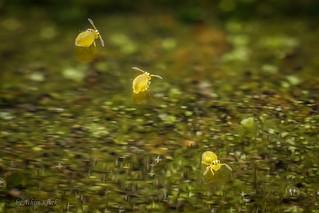 Heute war Badetag in einer Pfütze :-) Drei Sminthurinus aureus (Kugelspringer) Collembola auf dem Wasser