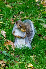 Full mouth (Repiklis) Tags: canon eos 550d outdoor animal squirel