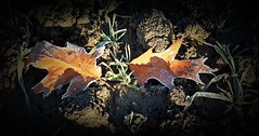 2016-12-27 Beaurepaire (42)frosted leaves (april-mo) Tags: leaves leaf feuille frosted frost gel deadleaves autumnleaves