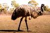 Ostrich VI (Josué Godoy) Tags: avestruz ostrich animal australia wildlife