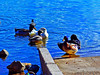 Yoga Duck (Pugsley 66) Tags: ducks lake arizona nikond7000 abc adobeelements water pier blue waterfowl wings feathers wildlife