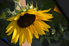 Sunflower (swong95765) Tags: flower sunflower beautiful radiant yellow huge pretty beauty nature
