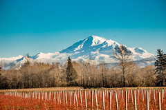 Mt. Baker and some Blueberry Bushes (Dex Horton Photography) Tags: happynewyear mtbaker blueberry bushes red blue white ferndale bellingham whatcomcounty outinthecounty rural farm farmland mountain glacier volcano organic dexhorton