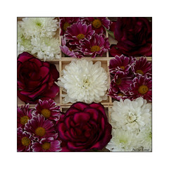 All Boxed Up (paulinecurrey) Tags: pretty flowers floral flora colourful colour color colorful petals roses dahlias daisies woodenboxes ninecompartments pink purple white yellow canon macro art creative textures stilllife wood angles corners points digital