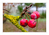 Red Crab Apples (Ken Walker Photography) Tags: trees winter nature colourful flora raindrops crabapples lichen red