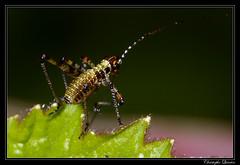 Larve de sauterelle ponctuée (Leptophyes punctatissima) (cquintin) Tags: arthropoda orthoptera tettigoniidae leptophyes punctatissima