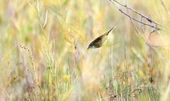 Swooping to the Ground (imageClear) Tags: nature palmwarbler warbler flying swoop lakeshore grasses sheboygan wisconsin aperture nikon d500 80400mm imageclear flickr photostream