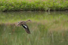 Chestnut Teal (F) (Rodger1943) Tags: ducks waterbirds austraianbirds fz1000 birdsinflight faunainmotion chestnutteal