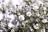 Still life - White Flowers (Stephanie_Johnstone) Tags: flowers still life stilllife white shallowdof shallowdepthoffield depthoffield dof blossom