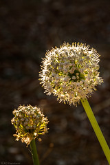 Afternoon glow (Anthony P26) Tags: bandirma category flora places turkey flower plant garden outdoor closeup backlight sunlight glowing stem head canon70d canon1585mm canon