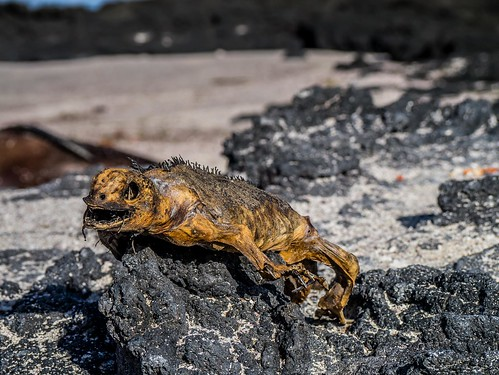 """Galapagos-80.jpg • <a style=""""font-size:0.8em;"""" href=""""http://www.flickr.com/photos/91306238@N04/32432989396/"""" target=""""_blank"""">View on Flickr</a>"""