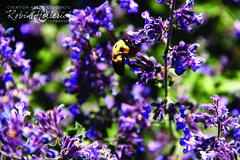 _MG_7880RMH 12.1 CMYK WebsiteRGB (creationartistcoPHOTO) Tags: bee animal purple bumblebee flower macro wing flight fly fuzzy