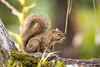 Esquilo (Ars Clicandi) Tags: sãopaulo brasil são paulo brazil saomiguelarcanjo miguel arcanjo parquedozizo parque do zizo mataatlantica mata atlantica floresta forest pousada trilha track esquilo cerelepe squirrel br