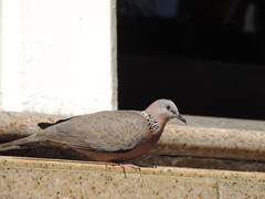044 (diabeticgirl4) Tags: bird birds hawaii oahu dove spotted honolulu spotteddove 52115