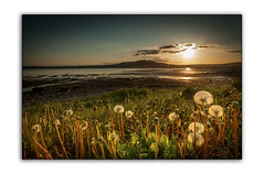 Dandelion Sunset (RonnieLMills) Tags: road county ireland sunset sun sunlight tower lough seed down dandelion heads northern setting strangford newtownards scrabo portaferry taraxacum officinale