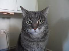 Charlie Left Eye Update (Matilda&Charlie&Josie ~ MCJ) Tags: cat charlie 9yo greybluecreamtabby eyeinfectionhealed