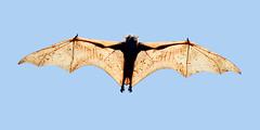 Philippine Giant Fruit Bat (Pteropus vampyrus lanensis) (Chris Chafer 1M views, thanks everyone) Tags: explore subicbay pteropusvampyruslanensis philippinegiantfruitbat