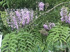 Lonchocarpus violaceus flowers