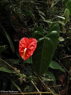 Anthurium andraeanum floreciendo in situ a alrededor de 1500 m snm, Carchi, Ecuador