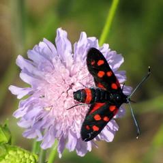 vltozkony csnglepke / Burnet Moth (debreczeniemoke) Tags: summer plant flower insect meadow virg insecta zygaenidae burnetmoth fieldscabious nyr caprifoliaceae nvny rovar knautiaarvensis lepke rt vltozkonycsnglepke zygaenaephialtes mezeivarf zygnedelacoronille canonpowershotsx20is loncflk vernderlicherotwidderchen beringtekronwickenwidderchen csnglepkeflk