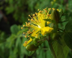 Hypericum androsaemum (Tutsan) - stamens, Eaves Wood, Silverdale, Lancs, 7.7.15 (respect_all_plants) Tags: lancashire wildflowers silverdale lancs tutsan hypericumandrosaemum eaveswood