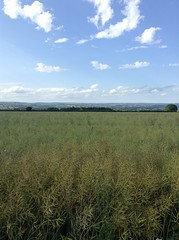 The view of a lovely walk. (Clare Larissa) Tags: blue sky sunlight white field grass yellow clouds beans corn afternoon view walk horizon fluffy ridge crop fields distance overlooking