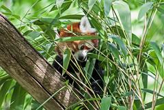 20150724_56 - schwer zu finden (grasso.gino) Tags: bear cute nature animals zoo tiere firefox nikon panda natur redpanda dortmund katzenbr br niedlich kleinerpanda d3000