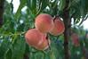 Prunus persica (douneika) Tags: peach pesca prunus pesco rosaceae persica