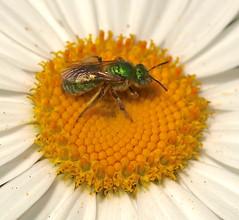 Metallic Green Bee (Agapostemon texanus) (Kazooze) Tags: flower macro nature garden native bee daisy shastadaisy metallicgreenbee diamondclassphotographer flickrdiamond agapostemontexanus