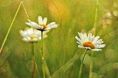 """morning blur"" (Karel Hrouzek P H O T O) Tags: wild sun mountains flower macro nature water forest sunrise landscape 50mm woods czech blossom bokeh illumination dew bloom nikkor f18"