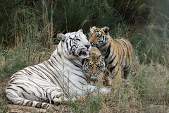 _S7A3040-small (buddy4344) Tags: africa tiger jv freestate karoo tigercanyons johnvarty