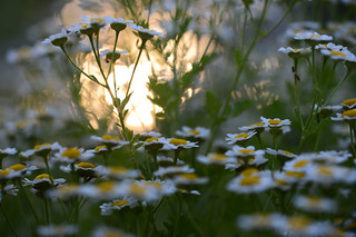 A Dalliance of Daisies