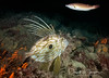 John Dory & friend (dave.thediver) Tags: fish johndory dory reef coldwater zeusfaber