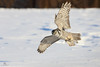 Chouette épervière - Northern hawk-owl - Surnia ulula (Maxime Legare-Vezina) Tags: bird oiseau nature wild wildlife animal fauna ornithology biodiversity canon winter hiver snow neige quebec canada