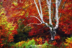 El anciano (Mimadeo) Tags: tree autumn vivid forest trees fall landscape nature foliage colorful leaf orange trunk branch vibrant season seasonal yellow leaves red color lonely bare old aged elderly aging elder ancient different contrast