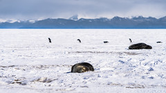 Psst, don't wake up the seals ... (redfurwolf) Tags: mcmurdo antarctica ice seal penguin mountain snow clouds outdoor redfurwolf sonyalpha sal70200g2 sony