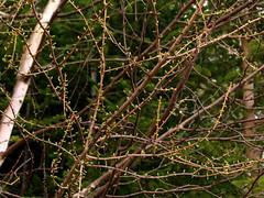 Larix laricina (Yotam Iezzi) Tags: yotamiezzi larixlaricina wwwdelicesforestierscom