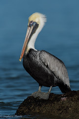 Brown Pelican (stephaniepluscht) Tags: alabama 2016 fort morgan state historic site