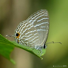 Common cerulean (LPJC) Tags: d11 kerala india 2015 lpjc butterfly commoncerulean jamidesceleno