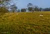Sheep Ickworth Park (johnboy!) Tags: ickworthpark ickworthhouse ickworth deadtrees nationaltrust